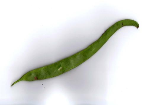 Runner_bean_from_marigold_alliance_garden