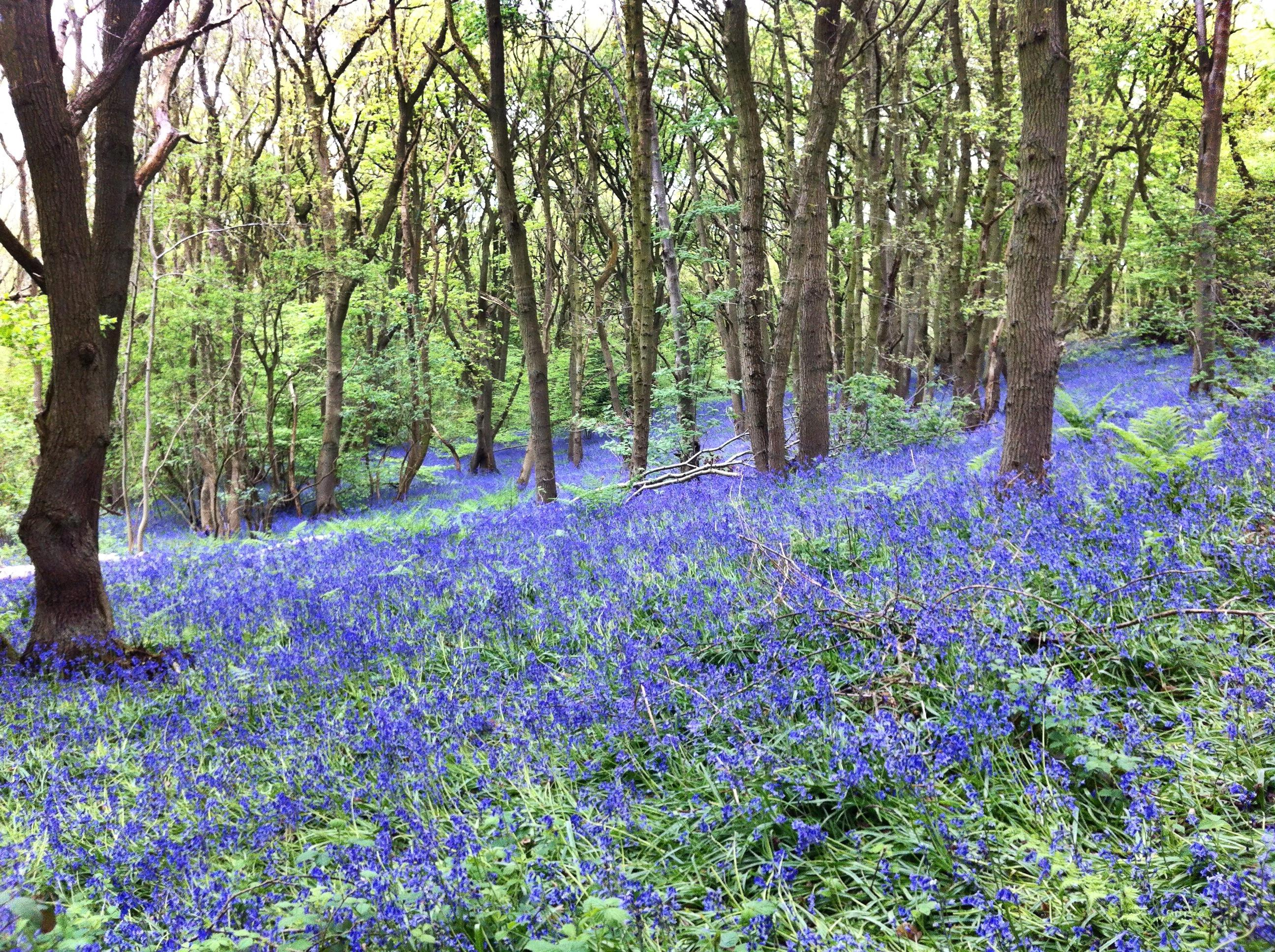 Photograph by Paul Conneally of bluebells in an English wood 2017 Loughbohemia some call it Loughborough